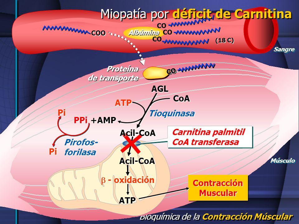 Bioquímica de la Contracción Múscular SangreSangre CO (18 C) COO - ATP PPi +AMP AGL ATP - oxidación Acil-CoA Carnitina palmitil CoA transferasa Carnit