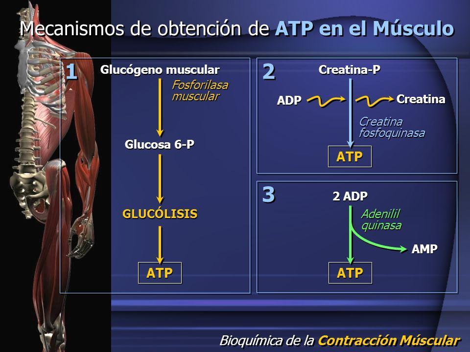 Bioquímica de la Contracción Múscular Mecanismos de obtención de ATP en el Músculo Glucógeno muscular Glucosa 6-P GLUCÓLISIS ATP Fosforilasa muscular
