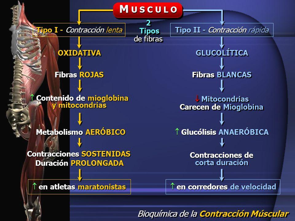 Bioquímica de la Contracción Múscular M U S C U L O Tipo I - Contracción lenta Tipo II - Contracción rápida 2 Tipos Tipos de fibras 2 Tipos Tipos de f
