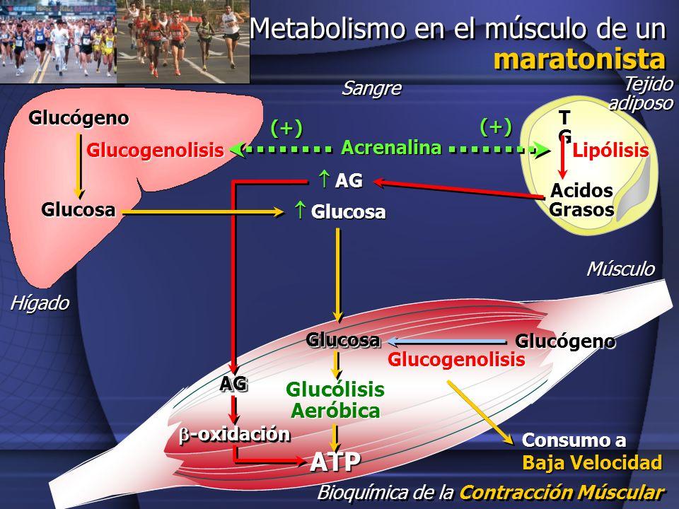 Bioquímica de la Contracción Múscular Glucosa Glucógeno Glucogenolisis Tejido adiposo Acidos Grasos TGTGTGTG Lipólisis Acrenalina (+) (+) Glucosa AG G