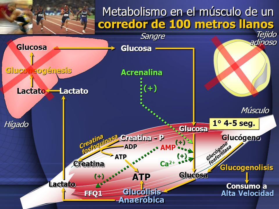 Metabolismo en el músculo de un corredor de 100 metros llanos Glucosa Hígado Gluconeogénesis Tejido adiposo Músculo Glucosa GlucosaGlucosa Glucógeno G