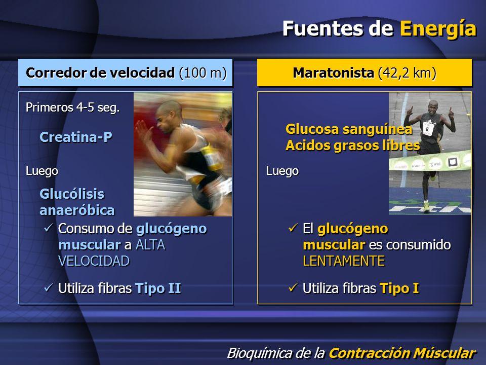 Bioquímica de la Contracción Múscular Fuentes de Energía Primeros 4-5 seg. Creatina-P Luego Glucólisis anaeróbica Glucosa sanguínea Acidos grasos libr