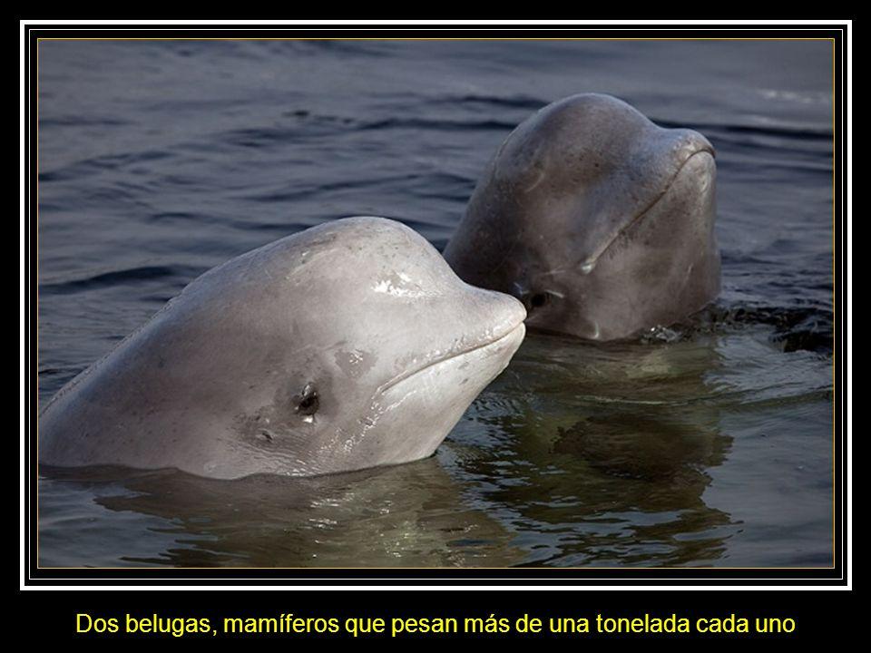 Natalia se familiariza con las belugas