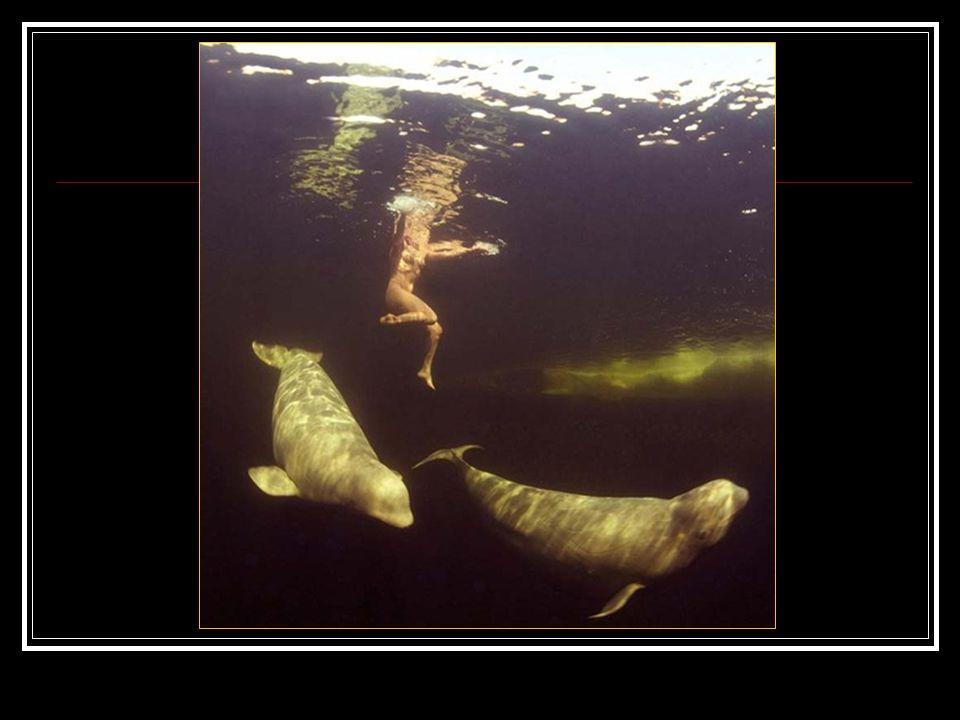 Nadando desnuda con las ballenas blancas en las aguas heladas del Círculo Polar Artico. Muchas cualidades son necesaria para realizar la hazaña de sum