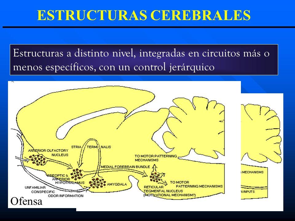 ESTRUCTURAS CEREBRALES Estructuras a distinto nivel, integradas en circuitos más o menos específicos, con un control jerárquico Defensa Ofensa