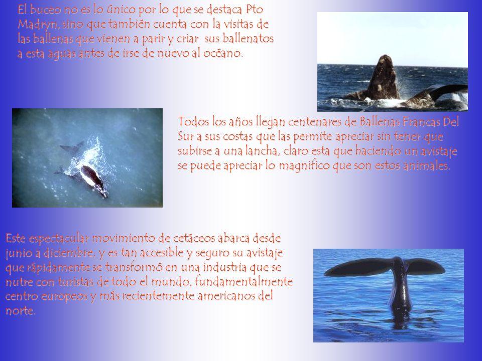 El buceo no es lo único por lo que se destaca Pto Madryn, sino que también cuenta con la visitas de las ballenas que vienen a parir y criar sus ballenatos a esta aguas antes de irse de nuevo al océano.