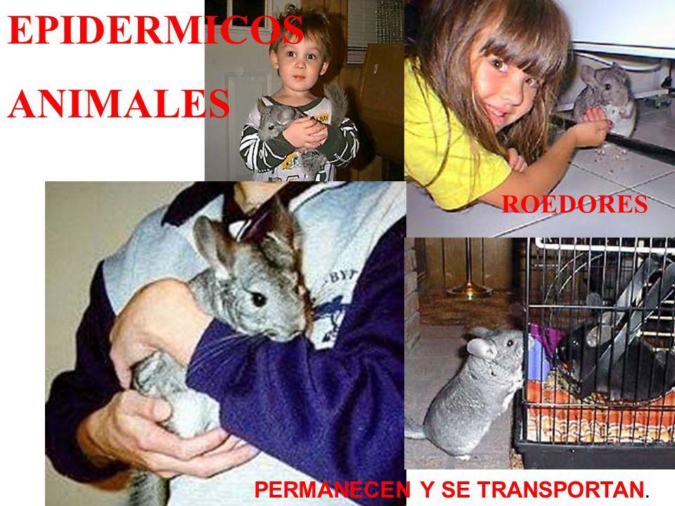 hamster PERMANECEN Y SE TRANSPORTAN. ROEDORES EPIDERMICOS ANIMALES
