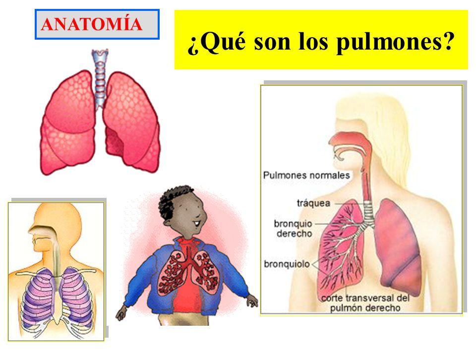 ¿Qué son los pulmones? ANATOMÍA