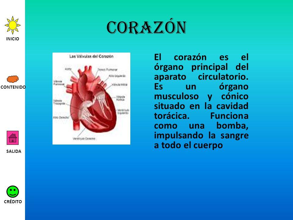 corazón El corazón es el órgano principal del aparato circulatorio. Es un órgano musculoso y cónico situado en la cavidad torácica. Funciona como una