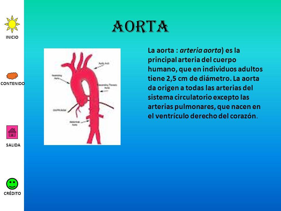 aorta La aorta : arteria aorta) es la principal arteria del cuerpo humano, que en individuos adultos tiene 2,5 cm de diámetro. La aorta da origen a to