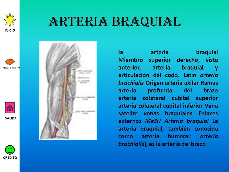 Arteria braquial la arteria braquial Miembro superior derecho, vista anterior, arteria braquial y articulación del codo. Latín arteria brachialis Orig