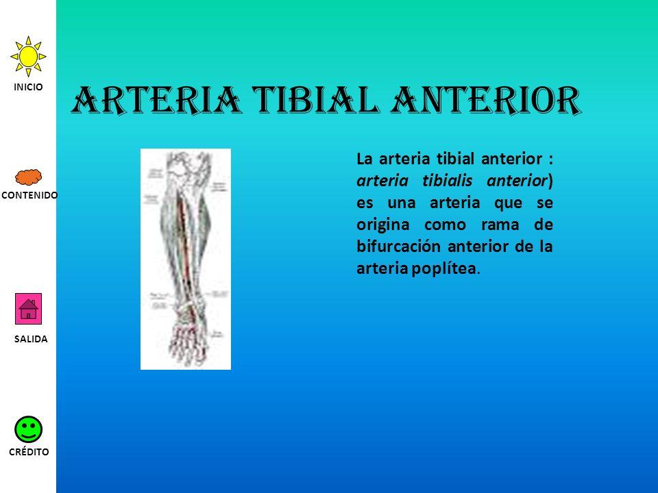 Arteria tibial anterior La arteria tibial anterior : arteria tibialis anterior) es una arteria que se origina como rama de bifurcación anterior de la