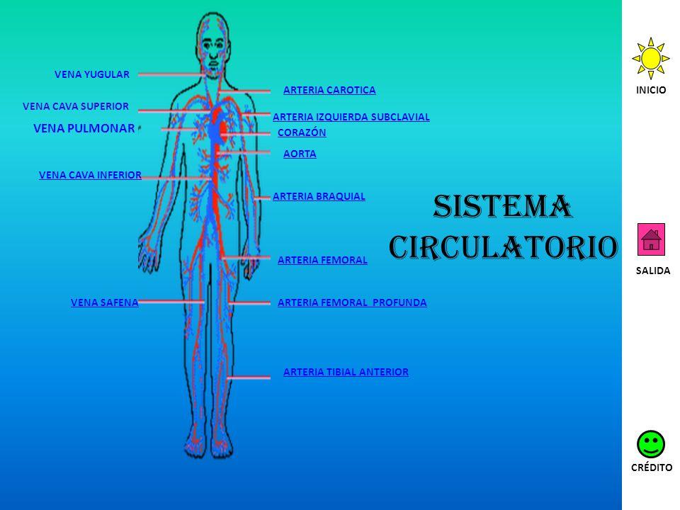 Sistema circulatorio VENA YUGULAR VENA CAVA SUPERIOR VENA CAVA INFERIOR VENA SAFENA ARTERIA CAROTICA ARTERIA IZQUIERDA SUBCLAVIAL CORAZÓN AORTA ARTERI