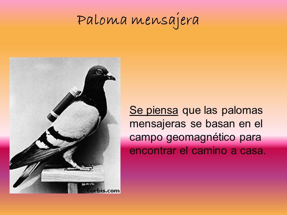 Se piensa que las palomas mensajeras se basan en el campo geomagnético para encontrar el camino a casa. Paloma mensajera