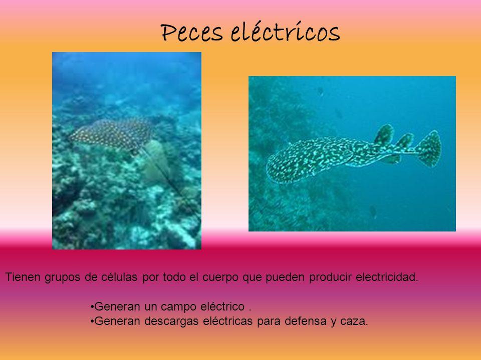 Peces eléctricos Tienen grupos de células por todo el cuerpo que pueden producir electricidad. Generan un campo eléctrico. Generan descargas eléctrica