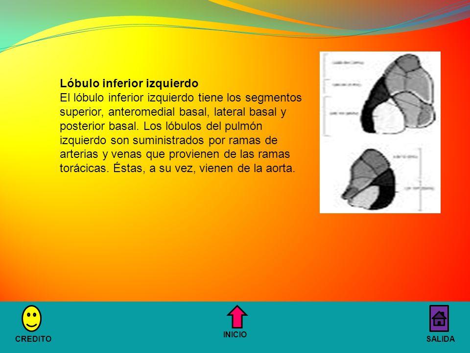 Lóbulo inferior izquierdo El lóbulo inferior izquierdo tiene los segmentos superior, anteromedial basal, lateral basal y posterior basal.