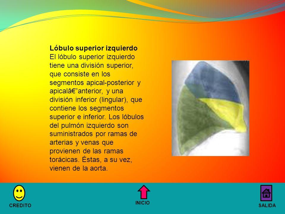 Lóbulo superior izquierdo El lóbulo superior izquierdo tiene una división superior, que consiste en los segmentos apical-posterior y apicalâanterior, y una división inferior (lingular), que contiene los segmentos superior e inferior.