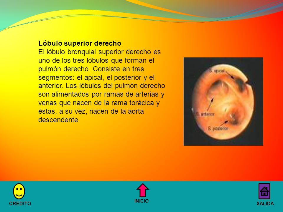Lóbulo superior derecho El lóbulo bronquial superior derecho es uno de los tres lóbulos que forman el pulmón derecho.
