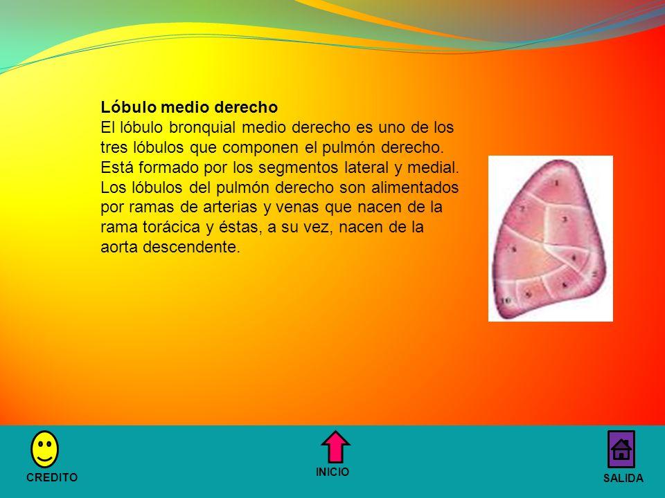 Lóbulo medio derecho El lóbulo bronquial medio derecho es uno de los tres lóbulos que componen el pulmón derecho.