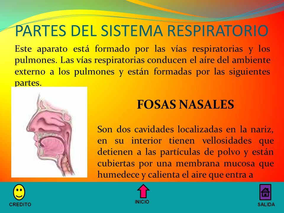 PARTES DEL SISTEMA RESPIRATORIO Este aparato está formado por las vías respiratorias y los pulmones.