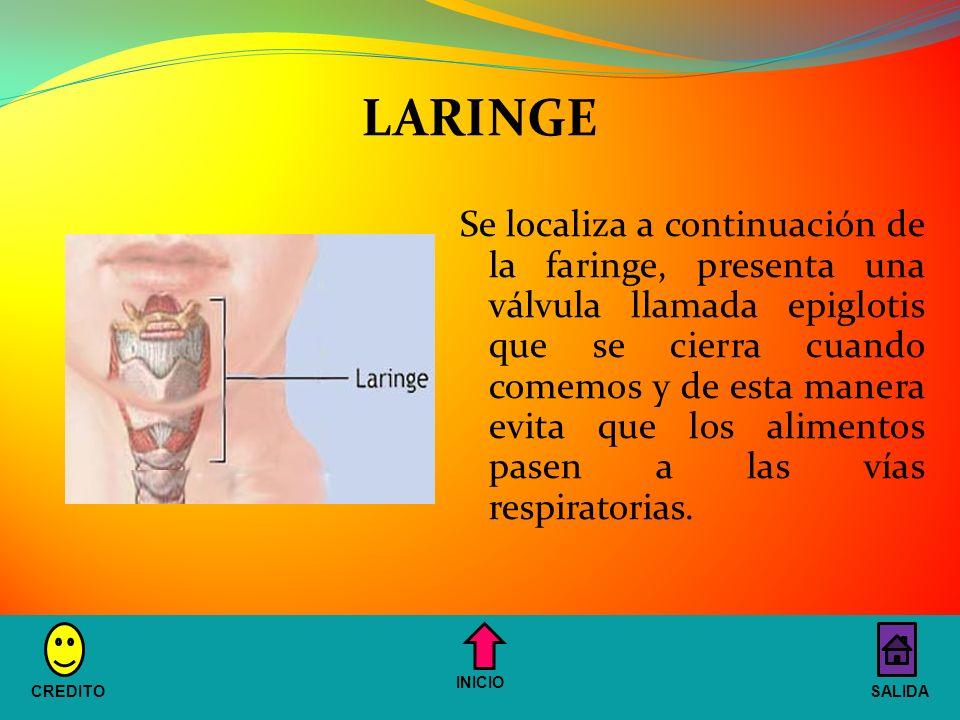 Se localiza a continuación de la faringe, presenta una válvula llamada epiglotis que se cierra cuando comemos y de esta manera evita que los alimentos pasen a las vías respiratorias.