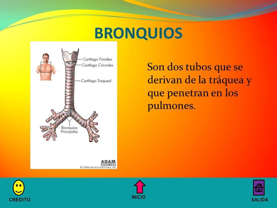 BRONQUIOS Son dos tubos que se derivan de la tráquea y que penetran en los pulmones.