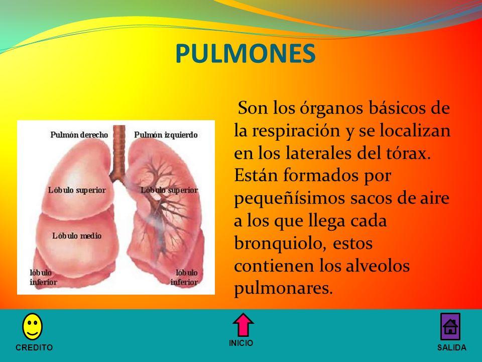 PULMONES Son los órganos básicos de la respiración y se localizan en los laterales del tórax.