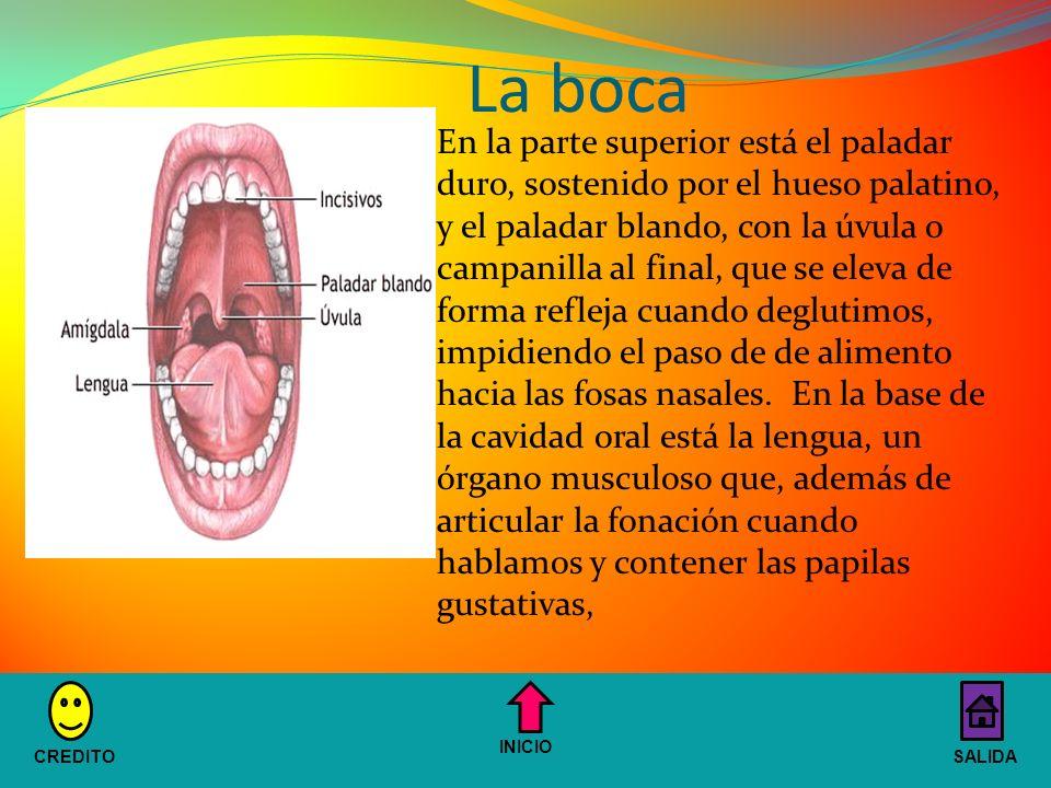 La boca En la parte superior está el paladar duro, sostenido por el hueso palatino, y el paladar blando, con la úvula o campanilla al final, que se eleva de forma refleja cuando deglutimos, impidiendo el paso de de alimento hacia las fosas nasales.