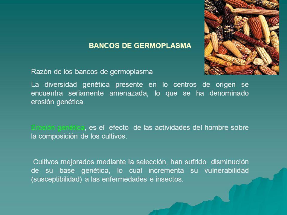 BANCOS DE GERMOPLASMA Razón de los bancos de germoplasma La diversidad genética presente en lo centros de origen se encuentra seriamente amenazada, lo