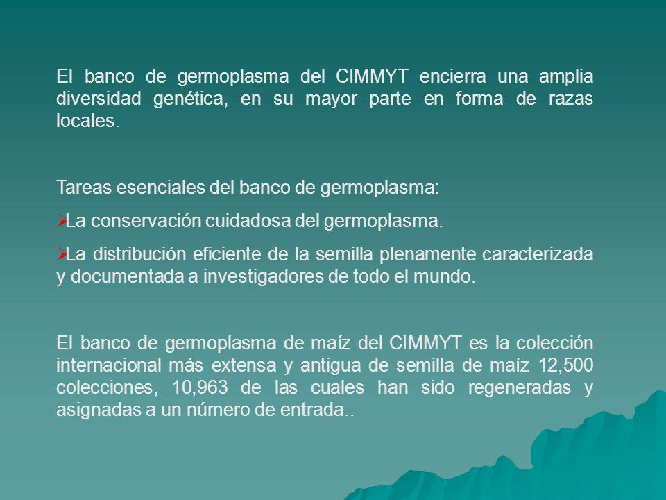 El banco de germoplasma del CIMMYT encierra una amplia diversidad genética, en su mayor parte en forma de razas locales. Tareas esenciales del banco d