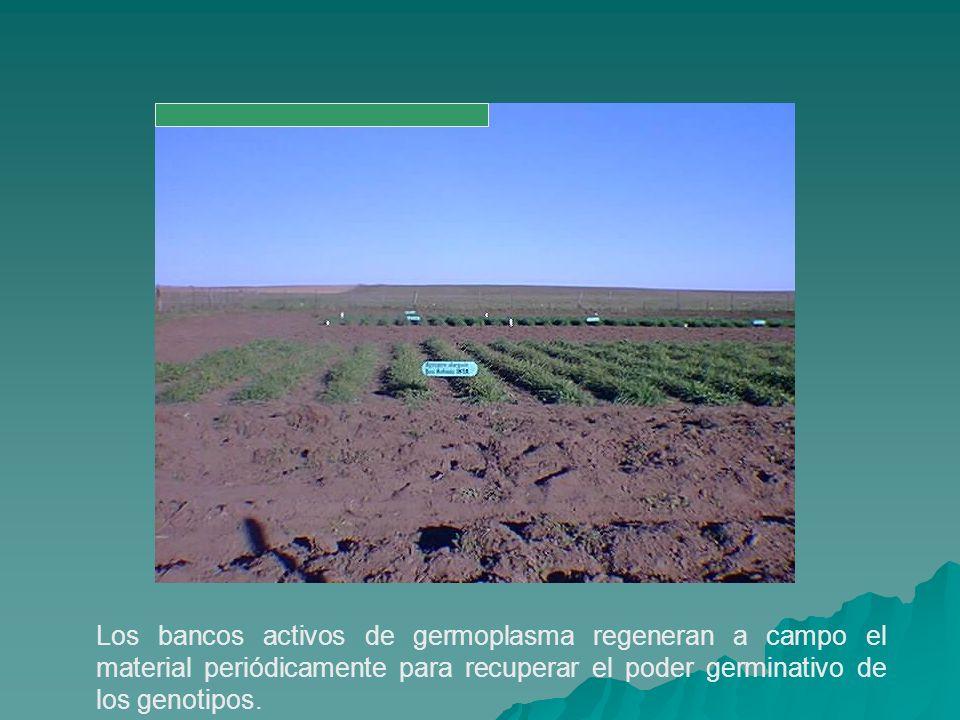 Los bancos activos de germoplasma regeneran a campo el material periódicamente para recuperar el poder germinativo de los genotipos.