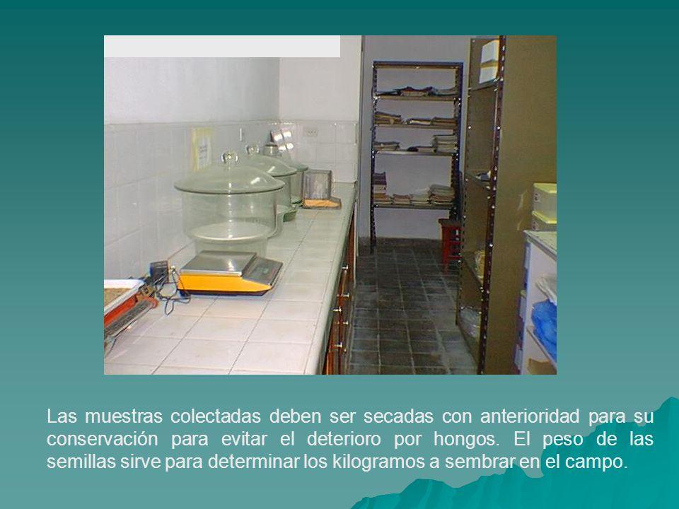 Las muestras colectadas deben ser secadas con anterioridad para su conservación para evitar el deterioro por hongos. El peso de las semillas sirve par