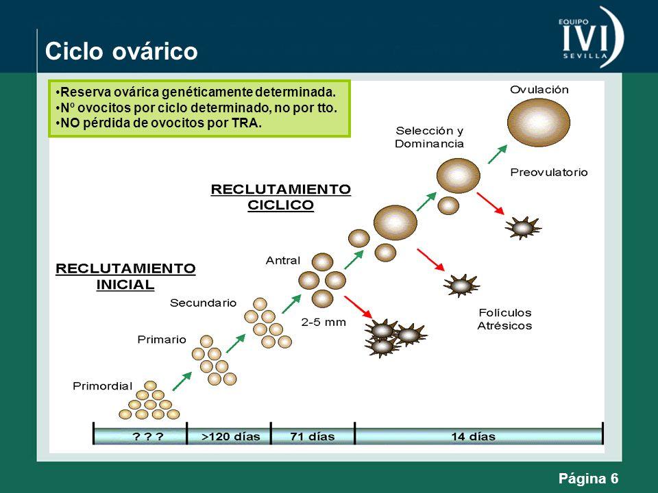 Ciclo ovárico Página 6 Reserva ovárica genéticamente determinada. Nº ovocitos por ciclo determinado, no por tto. NO pérdida de ovocitos por TRA.