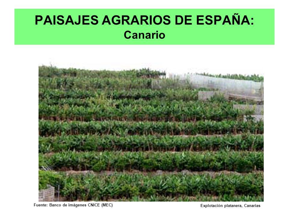 PAISAJES AGRARIOS DE ESPAÑA: Canario Explotación platanera, Canarias Fuente: Banco de imágenes CNICE (MEC) Prof. Isaac Buzo Sánchez