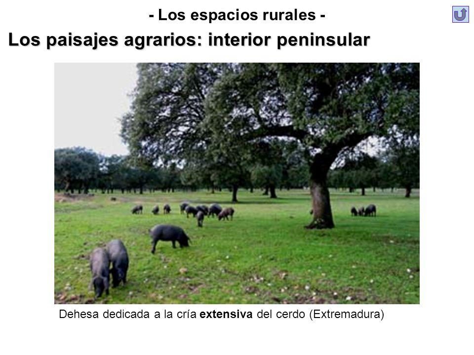 - Los espacios rurales - Los paisajes agrarios: interior peninsular Dehesa dedicada a la cría extensiva del cerdo (Extremadura)