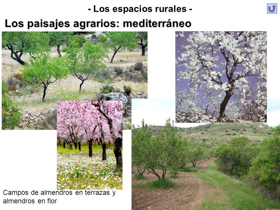 - Los espacios rurales - Los paisajes agrarios: mediterráneo Campos de almendros en terrazas y almendros en flor
