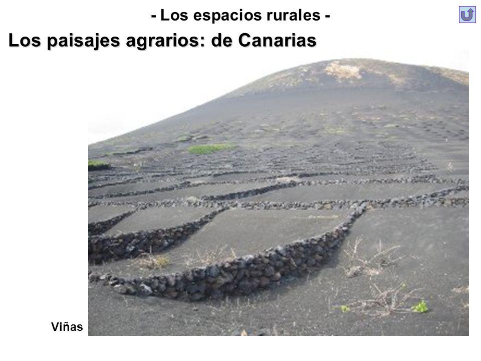 Viñas - Los espacios rurales - Los paisajes agrarios: de Canarias