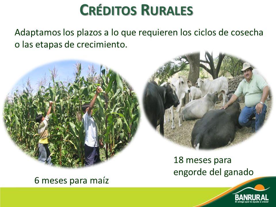 C RÉDITOS R URALES Adaptamos los plazos a lo que requieren los ciclos de cosecha o las etapas de crecimiento. 6 meses para maíz 18 meses para engorde