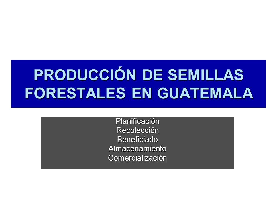 PRODUCCIÓN DE SEMILLAS FORESTALES EN GUATEMALA PlanificaciónRecolecciónBeneficiadoAlmacenamientoComercialización