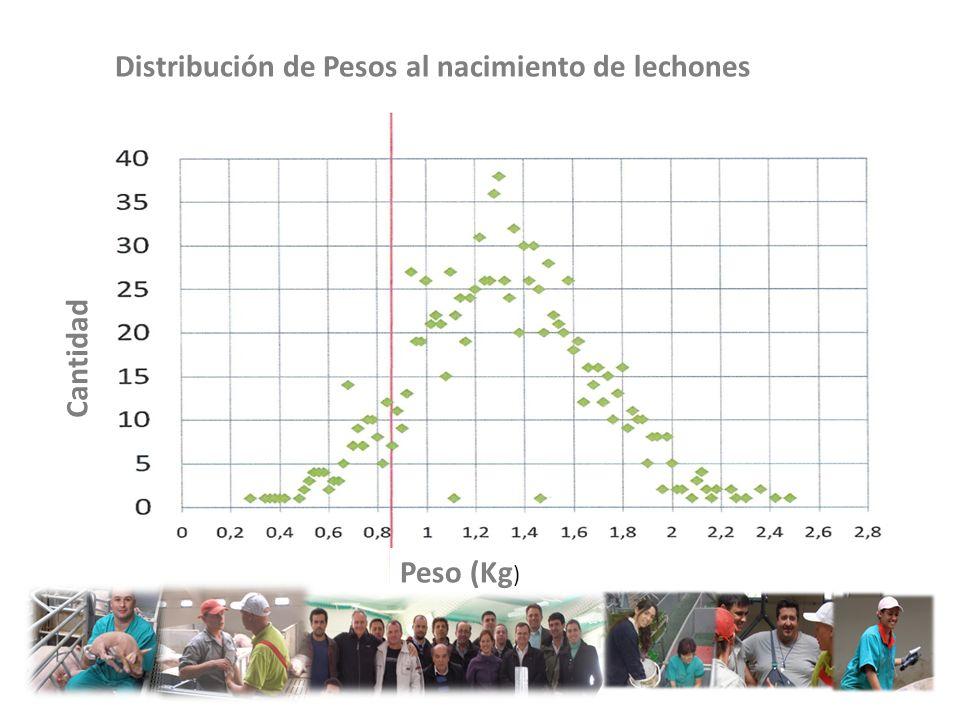 Lechones IUGR Lechones Normales Cantidad Peso (Kg ) Distribución de Pesos al nacimiento de lechones
