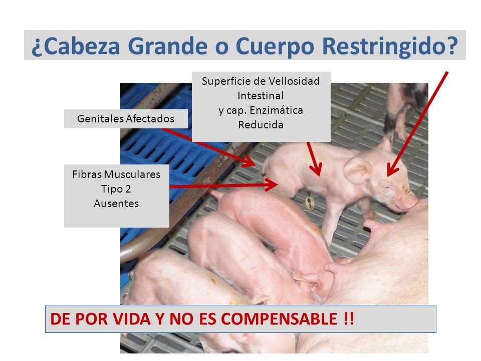 ¿Cabeza Grande o Cuerpo Restringido? Fibras Musculares Tipo 2 Ausentes Genitales Afectados Superficie de Vellosidad Intestinal y cap. Enzimática Reduc