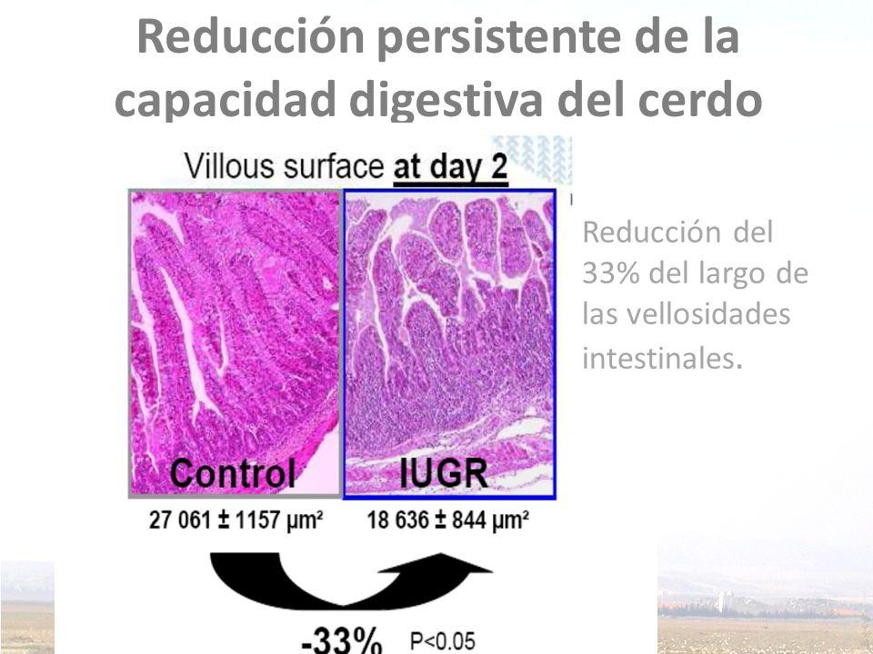 Reducción persistente de la capacidad digestiva del cerdo Reducción del 33% del largo de las vellosidades intestinales.