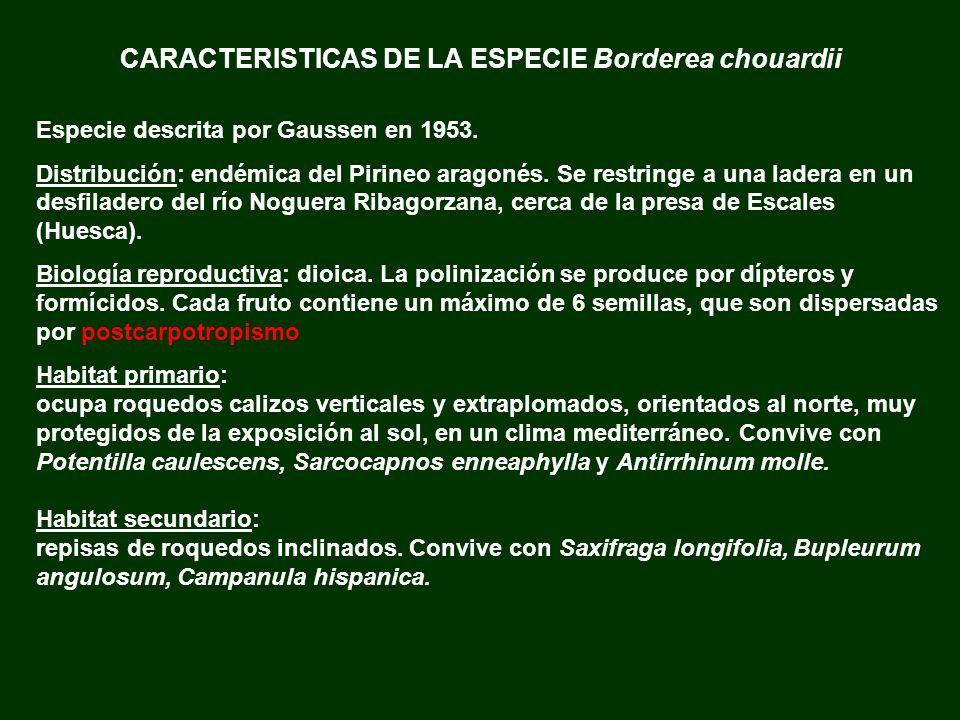 CARACTERISTICAS DE LA ESPECIE Borderea chouardii Especie descrita por Gaussen en 1953. Distribución: endémica del Pirineo aragonés. Se restringe a una