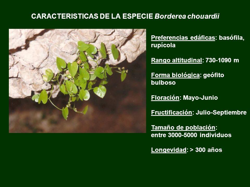 CARACTERISTICAS DE LA ESPECIE Borderea chouardii Preferencias edáficas: basófila, rupícola Rango altitudinal: 730-1090 m Forma biológica: geófito bulb