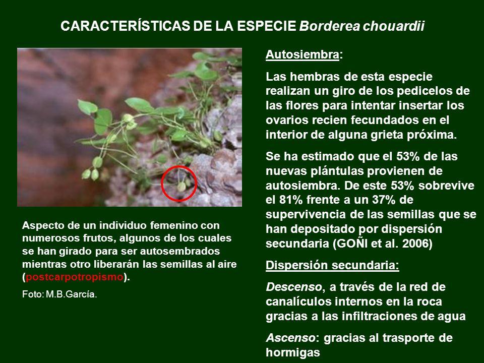 CARACTERÍSTICAS DE LA ESPECIE Borderea chouardii Aspecto de un individuo femenino con numerosos frutos, algunos de los cuales se han girado para ser a