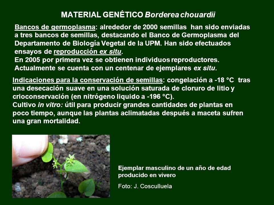 MATERIAL GENÉTICO Borderea chouardii Bancos de germoplasma: alrededor de 2000 semillas han sido enviadas a tres bancos de semillas, destacando el Banc