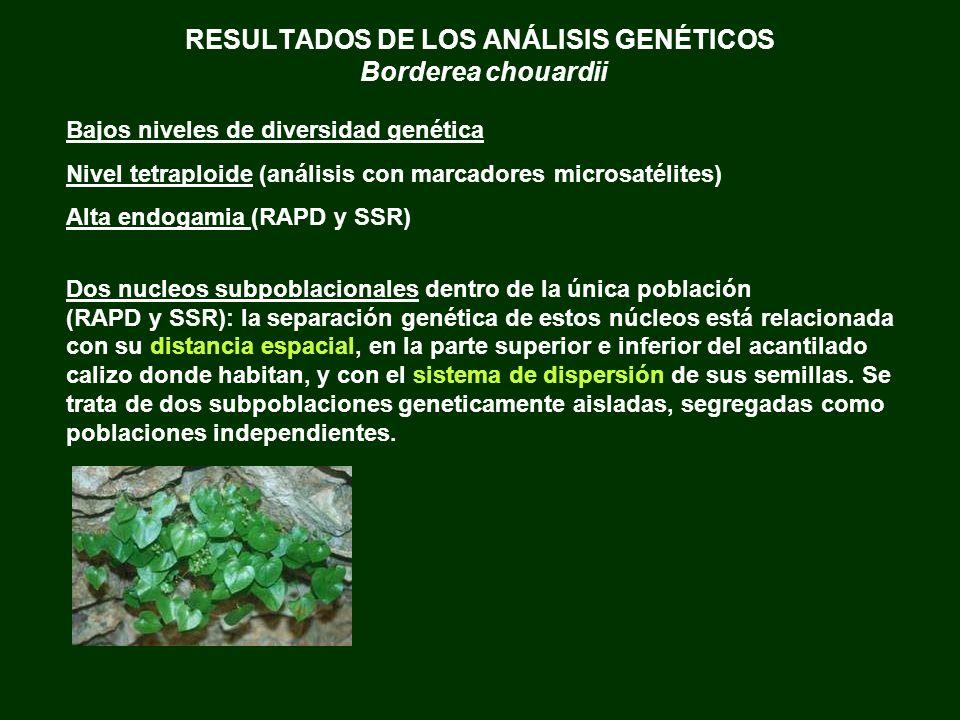 RESULTADOS DE LOS ANÁLISIS GENÉTICOS Borderea chouardii Bajos niveles de diversidad genética Nivel tetraploide (análisis con marcadores microsatélites