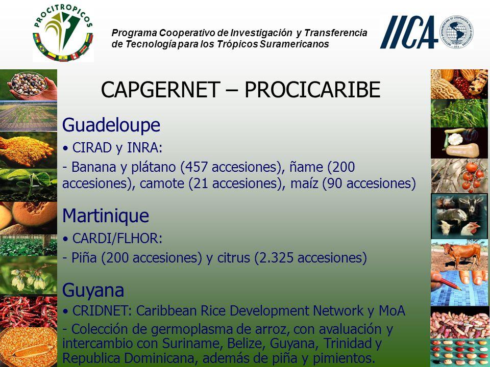 Programa Cooperativo de Investigación y Transferencia de Tecnología para los Trópicos Suramericanos CAPGERNET – PROCICARIBE Guadeloupe CIRAD y INRA: - Banana y plátano (457 accesiones), ñame (200 accesiones), camote (21 accesiones), maíz (90 accesiones) Martinique CARDI/FLHOR: - Piña (200 accesiones) y citrus (2.325 accesiones) Guyana CRIDNET: Caribbean Rice Development Network y MoA - Colección de germoplasma de arroz, con avaluación y intercambio con Suriname, Belize, Guyana, Trinidad y Republica Dominicana, además de piña y pimientos.