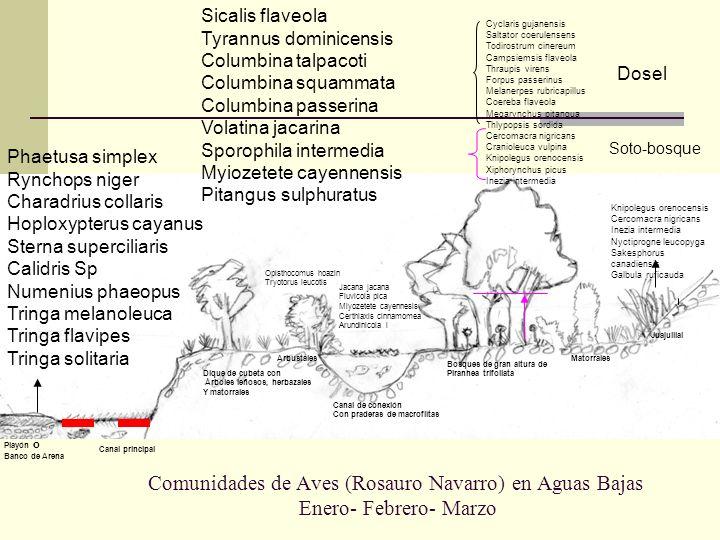 Comunidades de Aves (Rosauro Navarro) en Aguas Bajas Enero- Febrero- Marzo Playón o Banco de Arena Canal principal Dique de cubeta con Árboles leñosos