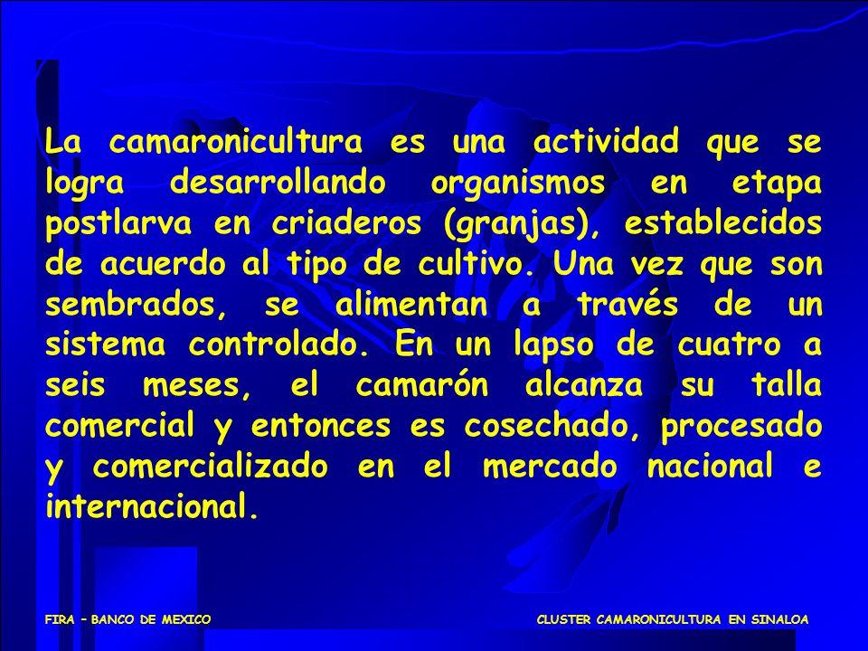 CLUSTER CAMARONICULTURA EN SINALOAFIRA – BANCO DE MEXICO La camaronicultura es una actividad que se logra desarrollando organismos en etapa postlarva